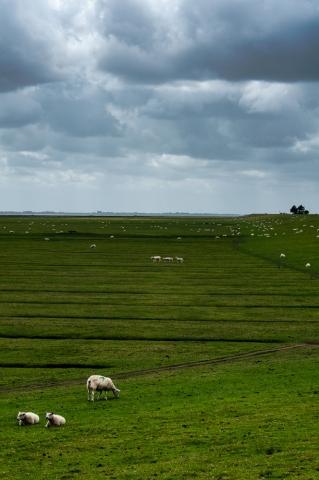 Schafe auf Nordstrand