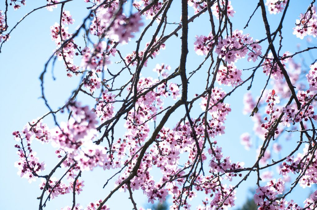 rosa Blueten vor blauem Frühlingshimmel